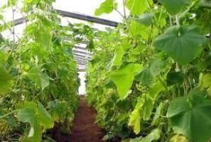 Отглеждане на краставици в оранжерии по видео