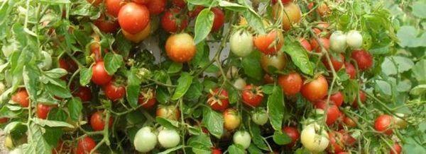Растящи ранни домати