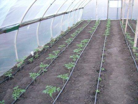 домати в оранжерията