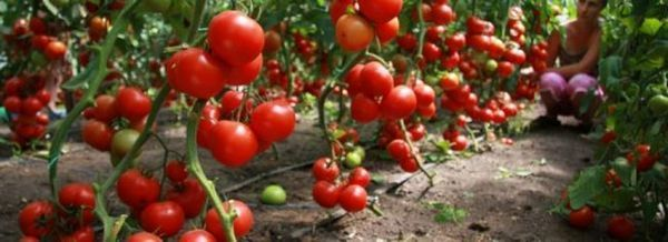 Високи домати. Разнообразие, култивиране и грижи