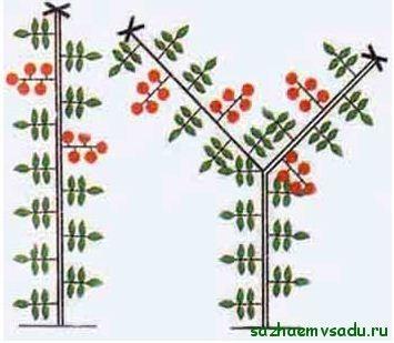 Образуване на детерминантни домати в 1 и 2 стъбла