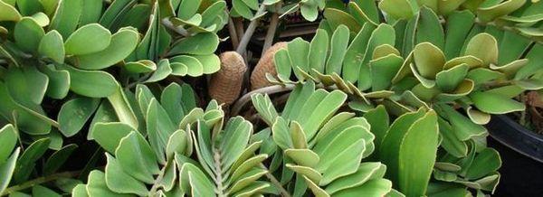 Замя - вечнозелен храст