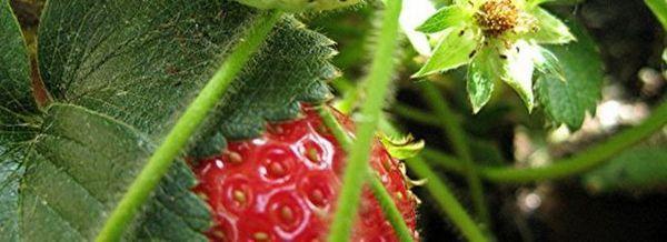 Ягода: растат ароматни витамини в страната