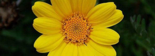 Жълта маргаритка