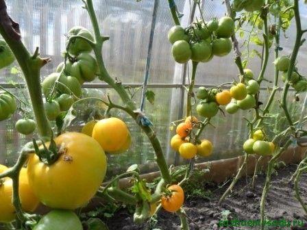 вид жълти домати Лимонено момче F1