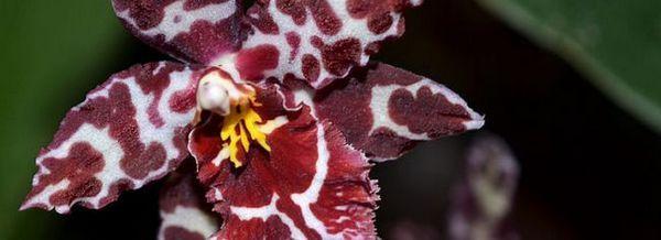 Зигопеталум забелязани цветя