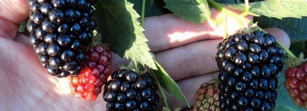 Blackberry черен сатен
