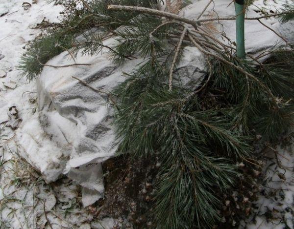 Пример за зимния подслон на къпина
