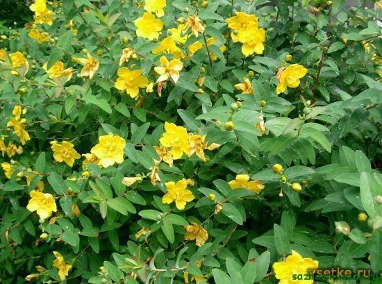 Калций от жълт кантарион (N. calycinum)